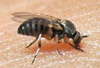 Black Flies photo