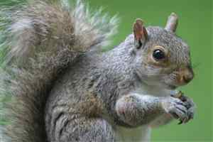 Tree Squirrel photo